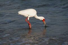 走在墨西哥湾的浅海浪的白色朱鹭Eudocimus albus 免版税库存图片