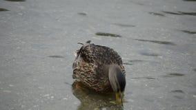 走在夏天池塘水中的美丽的野鸭鸭子寻找食物 影视素材