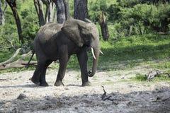 走在多灰尘的沙子的年轻非洲大象 免版税图库摄影