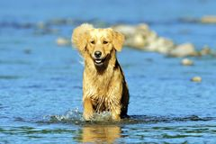 走在大海的金毛猎犬狗,使用在夏天 库存图片