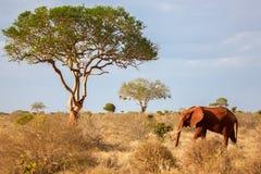 走在大草原的一头大象,在徒步旅行队 库存照片