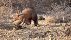 走在大草原的土豚在纳米比亚 影视素材