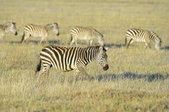 走在大草原的斑马 免版税库存照片
