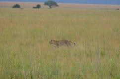 走在大草原的豹子在塞伦盖蒂国家公园 免版税库存照片