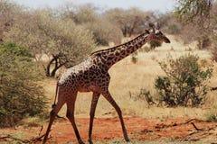 走在大草原的马塞人长颈鹿 库存照片