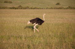 走在大草原的驼鸟在非洲 徒步旅行队 免版税库存照片