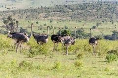 走在大草原的驼鸟在非洲 徒步旅行队 库存图片