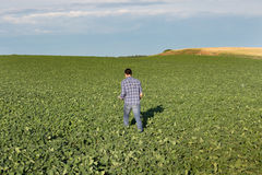 走在大豆领域的农夫 图库摄影