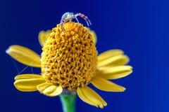 走在它上面一朵黄色野花的螃蟹蜘蛛 免版税库存图片
