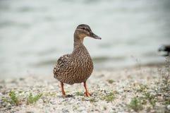 走在小卵石海滩的一只鸭子 免版税库存照片