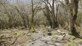 走在尼泊尔的山的中神奇森林里的女孩 股票录像