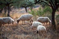 走在山的绵羊在卡拉迈 免版税库存照片