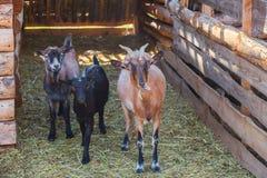 走在山羊的木小牧场的三个年轻人山羊在动物的农场 免版税库存照片
