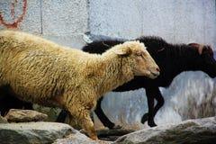 走在山路马纳利-莱赫在Darcha,喜马偕尔邦,印度的绵羊群  库存图片