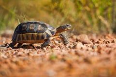 走在岩石南非的草龟 库存图片