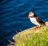 走在岩石峭壁的海鹦鸟在一个晴天在Latrabjarg,冰岛,欧洲 库存图片