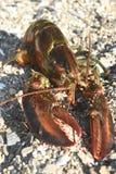 走在岩石海岸的大缅因龙虾 库存图片