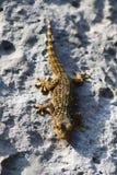 走在岩石的小棕色蜥蜴 免版税图库摄影