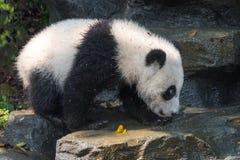 走在岩石的熊猫崽 免版税库存照片