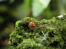 走在岩石的红色甲虫臭虫在绿色真菌和青苔的coverd 所选的重点 库存图片
