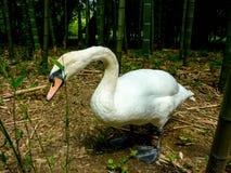 走在岸的成人白色天鹅 r 免版税库存照片