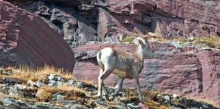 走在峭壁边缘的大角野绵羊在暗藏的湖通行证的克莱门茨山下在冰川国家公园在蒙大拿美国 图库摄影