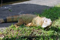 走在巴厘岛爬行动物公园的鬣鳞蜥 库存照片