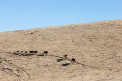 走在干燥的一座山一边的马线,热 库存图片