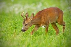 走在干草领域的幼小狍平安地嚼在夏天 免版税库存照片