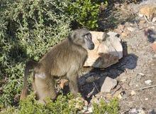 走在开普敦的猴子 免版税库存照片
