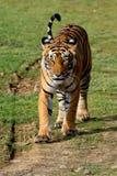 走在往照相机的草的老虎 免版税图库摄影
