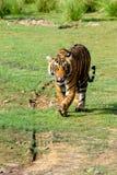 走在往照相机的草的老虎 免版税库存照片