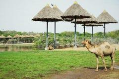 走在徒步旅行队的骆驼 库存照片