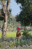 走在德赖的领域的Taru妇女在尼泊尔 库存图片