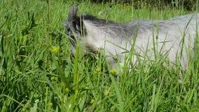 走在您在花嚼对giv的绿草中的草甸的山羊 股票视频