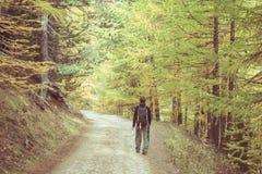 走在意大利法国阿尔卑斯的落叶松属树森林地的背包徒步旅行者 五颜六色的秋天季节 被定调子的和decontrasted图象 免版税库存照片