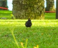 走在新鲜的绿草的一只黑鸟在白天 免版税库存图片