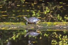 走在日志的黄腹吸汁啄木鸟的乌龟漂浮在水中 库存图片