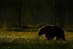 走在早晨太阳的湖附近的大棕熊 免版税图库摄影