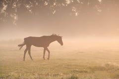 走在早晨薄雾的马 免版税库存图片