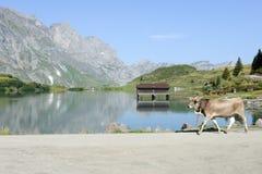 走在昂热尔贝格的湖Truebsee前面的母牛 库存照片