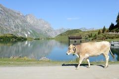 走在昂热尔贝格的湖Truebsee前面的母牛 图库摄影
