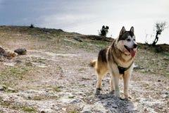 走在春天山的爱斯基摩狗狗 E 免版税库存图片
