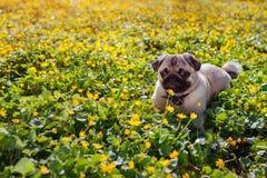 走在春天森林小狗的哈巴狗狗说谎在黄色花中早晨和嚼花 免版税图库摄影
