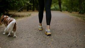 走在有他的女性所有者的公园的一个红色和白色西班牙猎狗的瞄准的英尺长度 便衣和运动鞋的妇女 股票录像