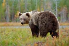 走在有秋天颜色的湖附近的美丽的大棕熊 危险动物在自然森林和草甸栖所里 野生生物s 免版税库存照片