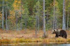 走在有秋天颜色的湖附近的美丽的棕熊 危险动物在自然森林和草甸栖所里 野生生物场面 免版税库存照片