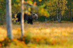 走在有秋天颜色的湖附近的美丽的棕熊 危险动物在自然草甸栖所 野生生物场面,芬兰 图库摄影