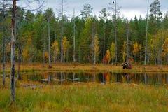 走在有秋天颜色的湖附近的美丽的棕熊 在自然木头,草甸栖所的危险动物 野生生物栖所从 免版税库存照片