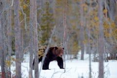 走在有雪和冰的湖附近的美丽的棕色哺乳动物 在自然木头,草甸栖所的危险生物 野生生物栖所 库存照片